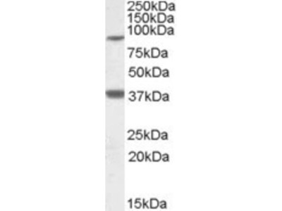 LASS1 Antibody