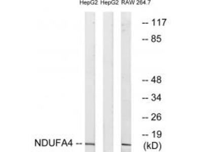 NDUFA4 Antibody