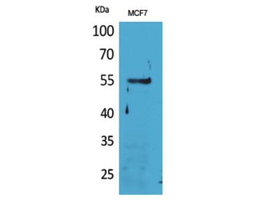 CD85g Polyclonal Antibody