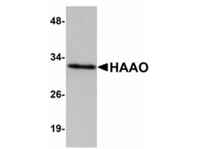 HAAO Antibody