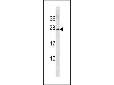 GINS3 Antibody (C-term)