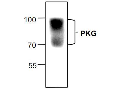 PKG Antibody