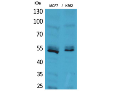 CD85e/h Polyclonal Antibody