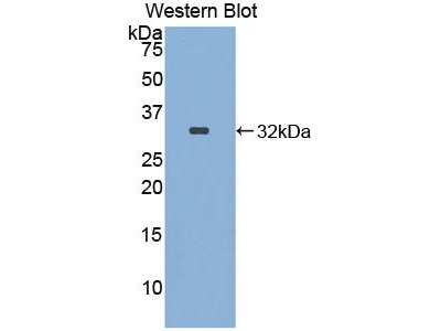 Polyclonal Antibody to Integrin Alpha FG GAP Repeat Containing Protein 1 (ITFG1)