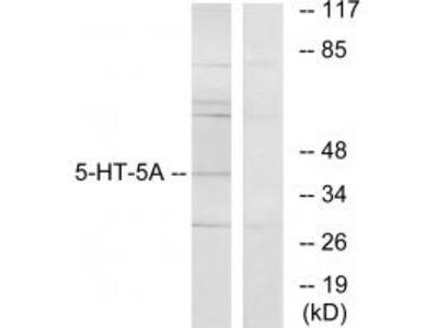 5-HT-5A Antibody