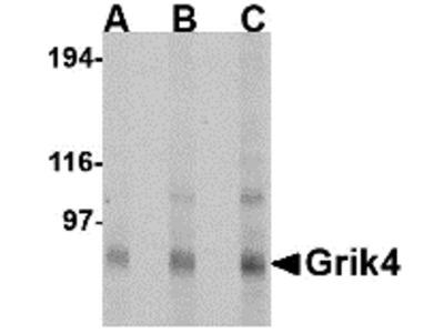 Grik4 Antibody