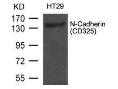 N-Cadherin(CD325) Antibody