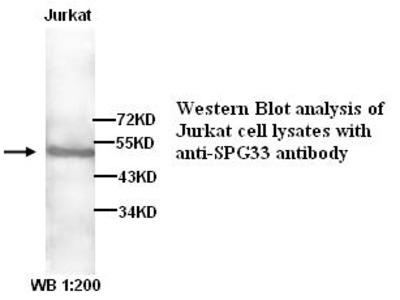 Anti-SPG33 Antibody