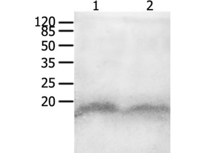 CCL8 Antibody