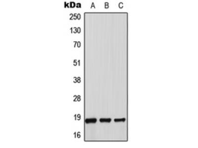 Anti-Thioredoxin 2 Antibody