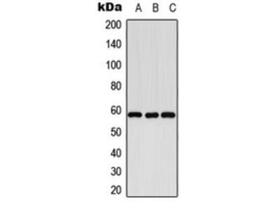Anti-Cytochrome P450 8B1 Antibody