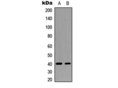 Anti-GNAT1 Antibody