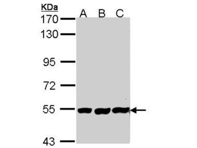 PLAP antibody