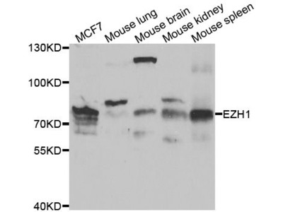 EZH1 Polyclonal Antibody