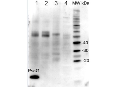 Anti- PsaG ; PSI-G subunit of photosystem I