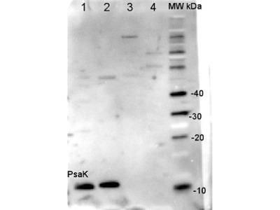 Anti- PsaK ; PSI-K subunit of photosystem I