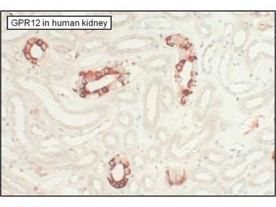 GPR12 Polyclonal Antibody
