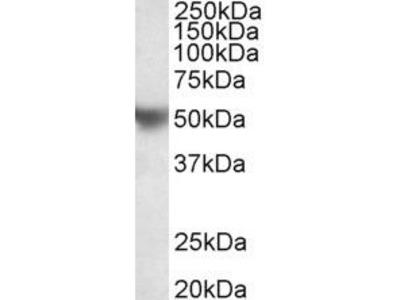 Apolipoprotein H Polyclonal Antibody