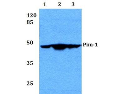 PIM1 Polyclonal Antibody