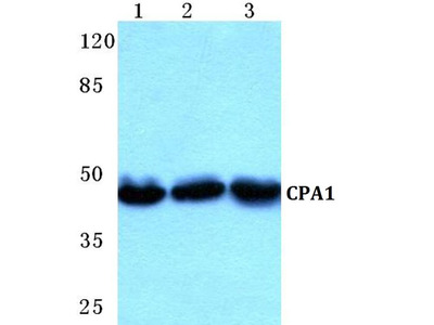 Carboxypeptidase A1 Polyclonal Antibody