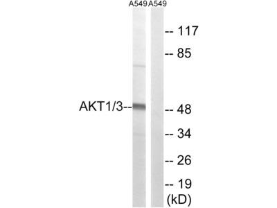 AKT1/AKT3 Polyclonal Antibody