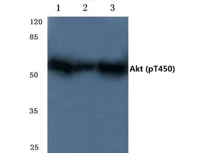 Phospho-AKT Pan (Thr450, Thr451, Thr447) Polyclonal Antibody