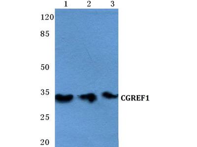 CGREF1 Polyclonal Antibody