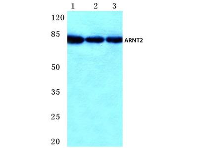 ARNT2 Polyclonal Antibody