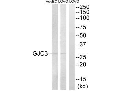 Connexin 29 Polyclonal Antibody