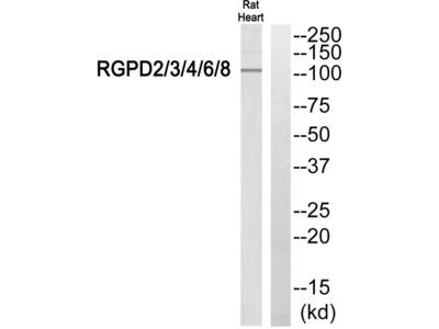 RGPD Pan Polyclonal Antibody