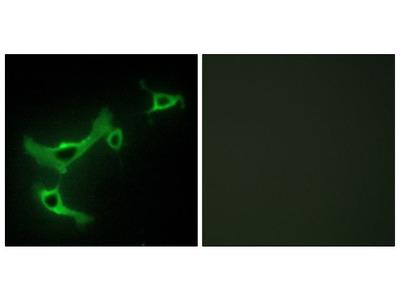 BERP Polyclonal Antibody