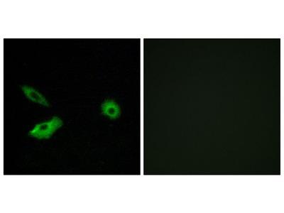 OR5AR1 Polyclonal Antibody