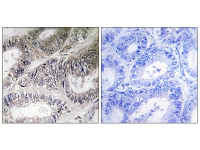 COX19 Polyclonal Antibody