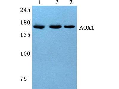 AOX1 Polyclonal Antibody