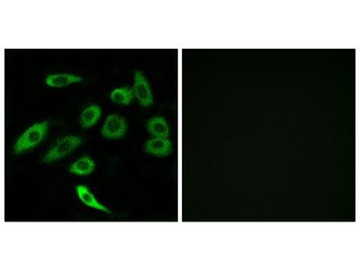 TAS2R3 Antibody
