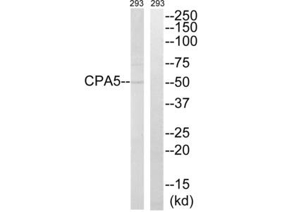 Carboxypeptidase A5 Polyclonal Antibody