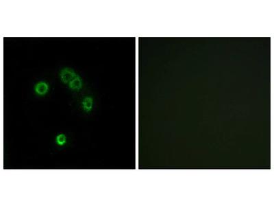 TAS2R13 Polyclonal Antibody