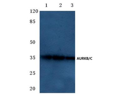 Aurora B/C Antibody