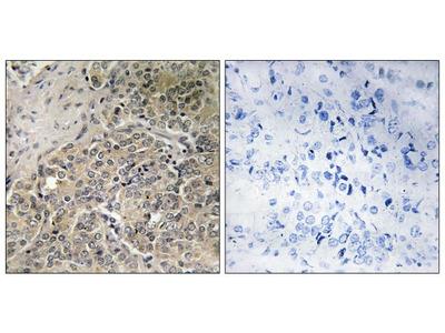 A26C2/A26C3 Polyclonal Antibody
