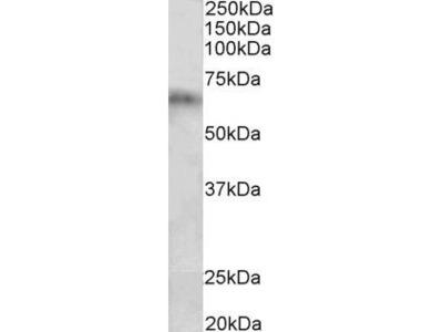 CYP2D10 Polyclonal Antibody