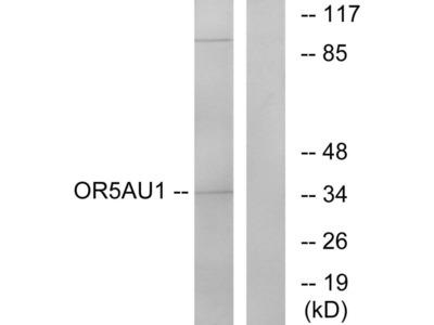 OR5AU1 Polyclonal Antibody