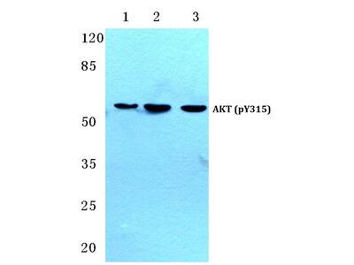 Phospho-AKT Pan (Tyr315, Tyr316, Tyr312) Polyclonal Antibody