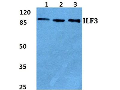 ILF3 Polyclonal Antibody