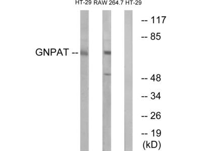 GNPAT Polyclonal Antibody