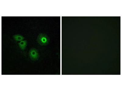 OR4A15 Polyclonal Antibody