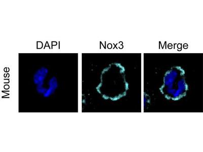 NOX3 Polyclonal Antibody