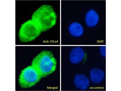 P2X4 Polyclonal Antibody