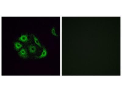 OR4P4 Polyclonal Antibody