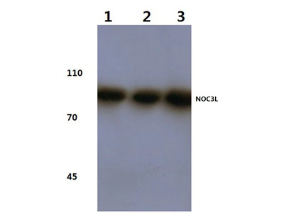 NOC3L Polyclonal Antibody