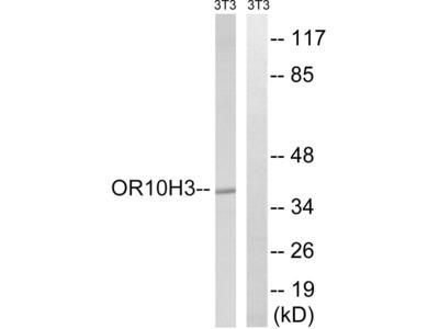 OR10H3/OR10H4 Polyclonal Antibody
